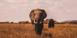 leadershp elephant