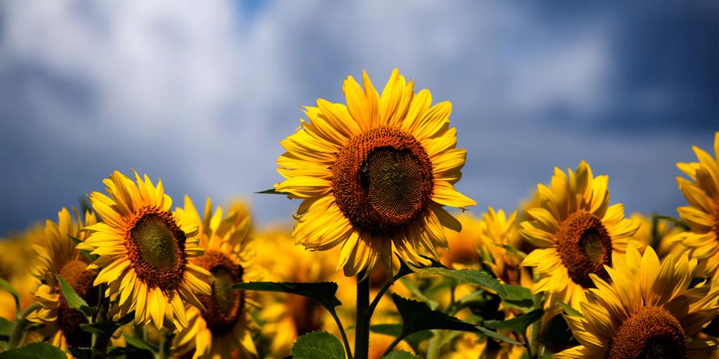 mental health sunflower